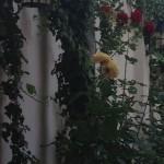Restaurant Casa Huber – o masa buna pe terasa cu trandafiri